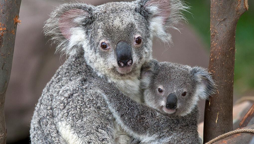 Rare white koala born in Queensland'-s Australia Zoo | The Independent