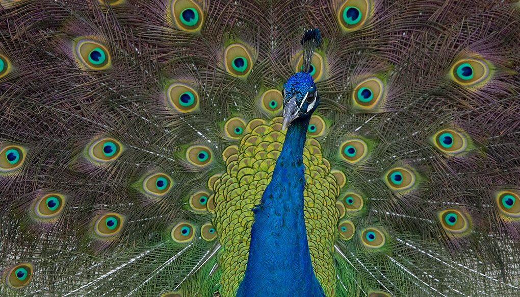 Peacock displaying his elaborate tail feathers