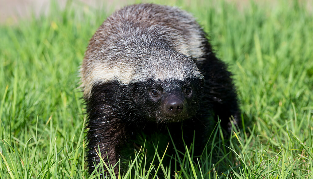 Honey badger, or ratel