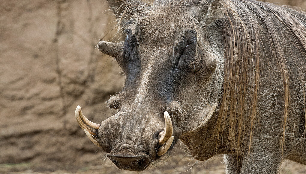 Warthog with tusks