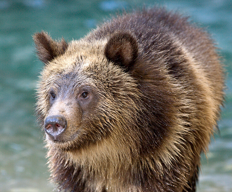 Young brown bear wet after a dip in the water