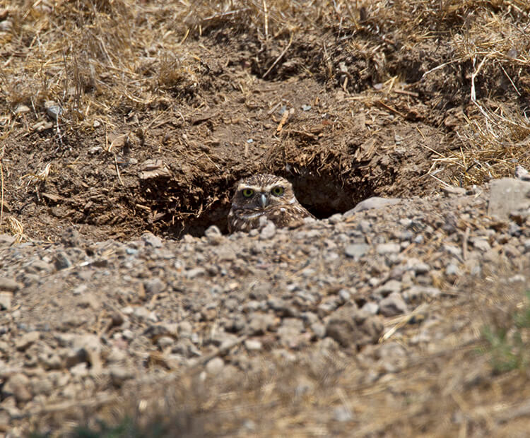 Burrowing owl inside its dirt burrow, popping its head out.