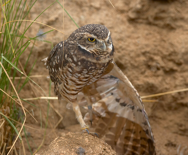 Burrowing owl standing outside it's burrow, one wing stretched out downward