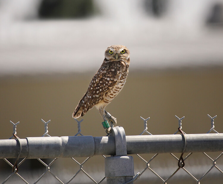 Burrowing owl sitting on a chain link fence with a green tag on his right leg