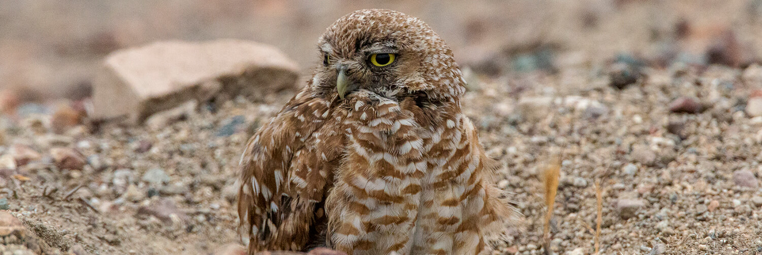 A burrowing owl sits with half of its body in its burrow, looking off to the left