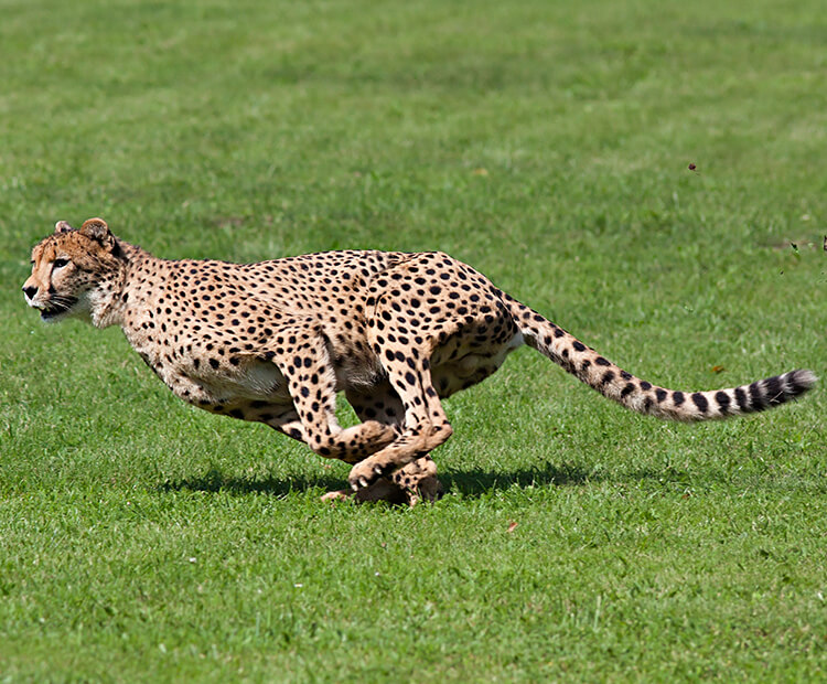 How Fast Do Cheetahs Run Speedy spots | ...