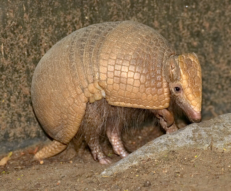 Three-banded armadillo walking on dirt
