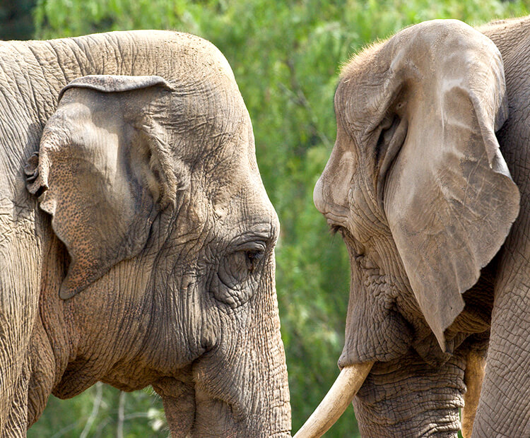 Asian elephant stand near an African elephant showing difference in ear shapes