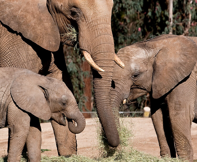 African elephant family eating hay