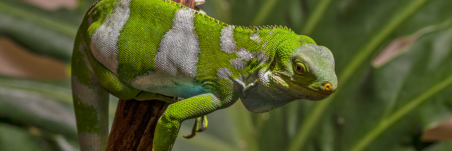 Fiji iguana crouched on a wood branch in front of a large tropical leaf