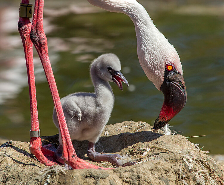 Lesser flamingo with chick