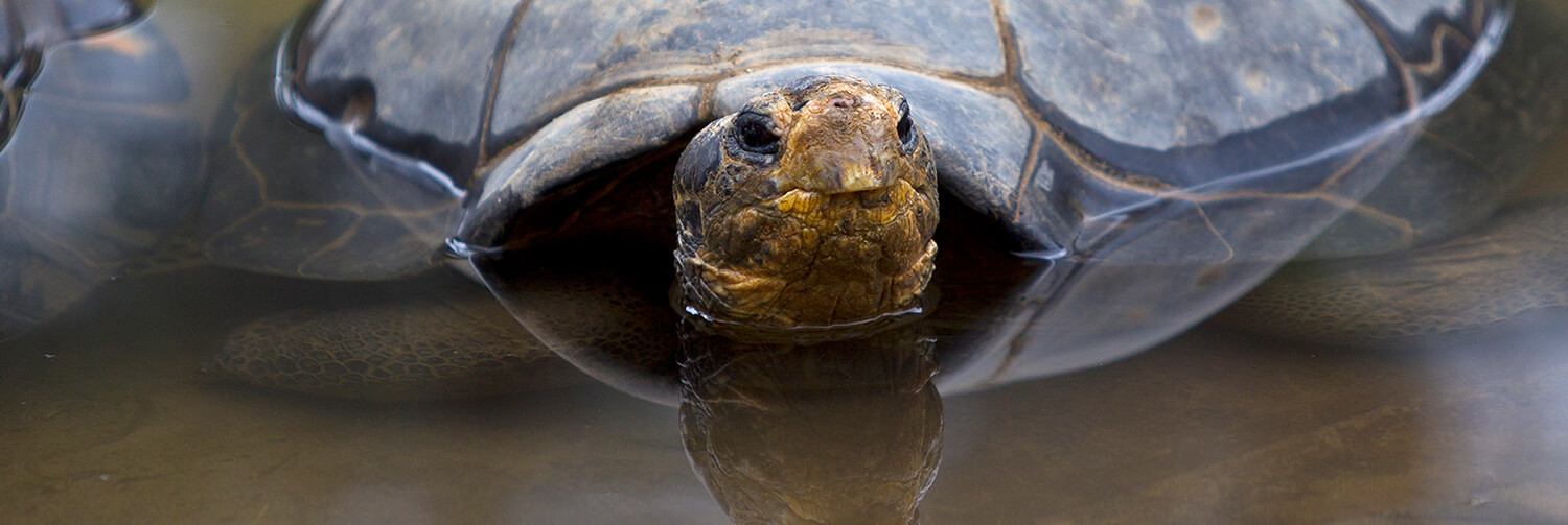 Galapagos tortoise half submerged in a watering hole.