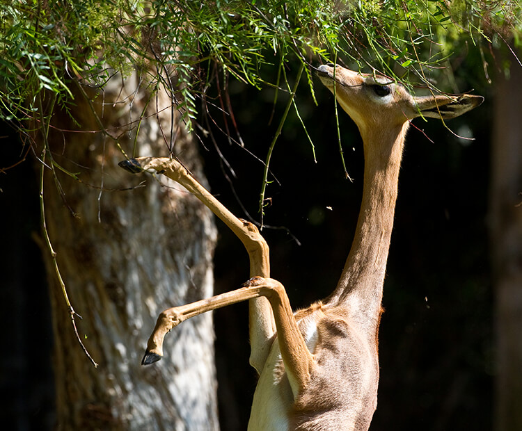 Gerenuk standing tall to eat tree leave