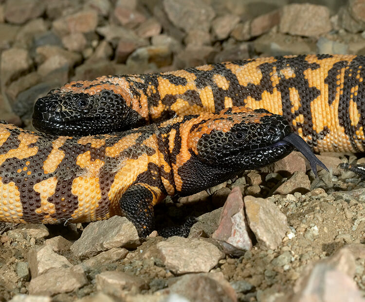 A pair of gila monsters