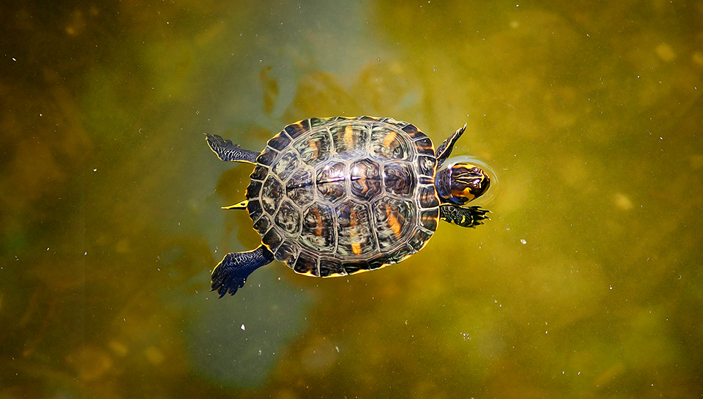 Turtle swims across a freshwater pond
