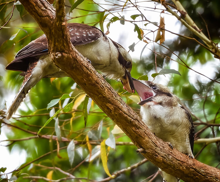 A kookaburra mom feeds her youngster.