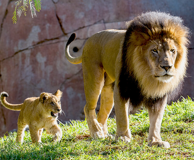 Male lion holds his tufted tail up while young cub follows him