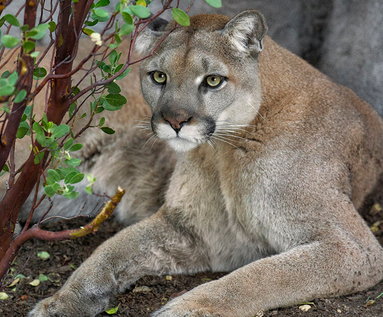 Mountain lion sitting in the shade of a shrub