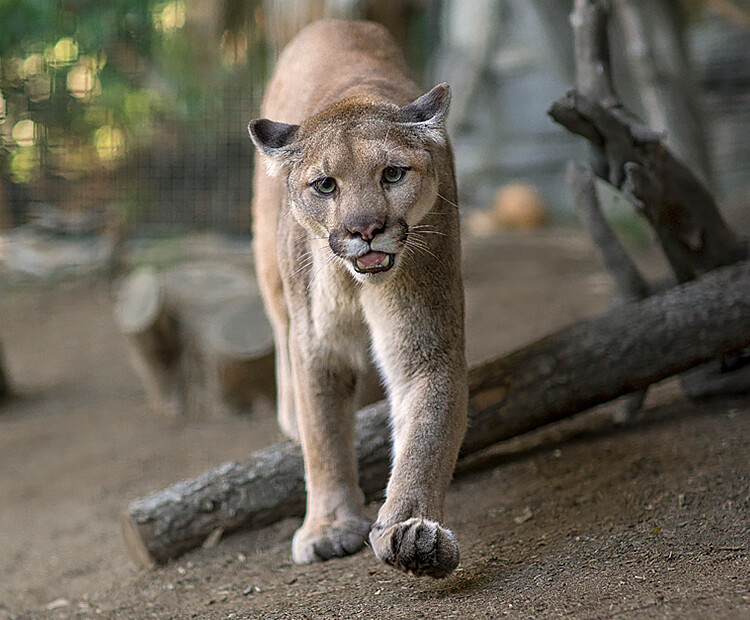 Mountain lion walking towards the camera with mouth slightly open