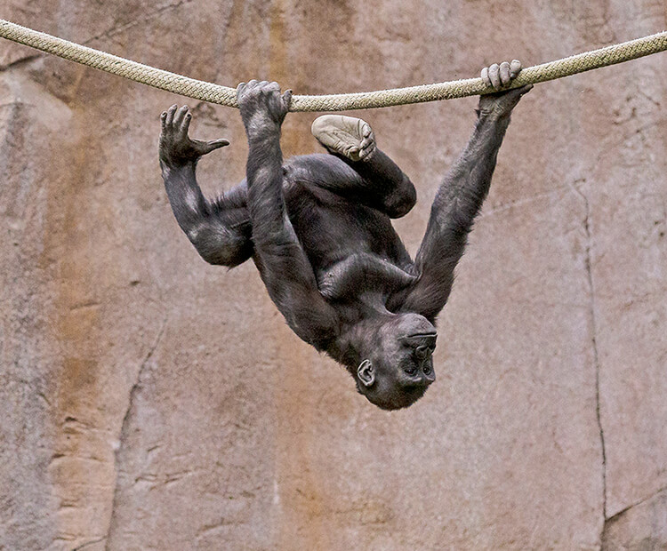 Baby gorilla climbing across rope, hanging upside down