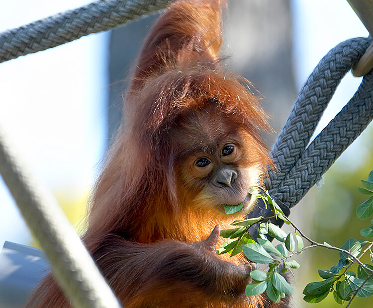 Baby orangutan eating leaves as it hangs from a jungle gym rope
