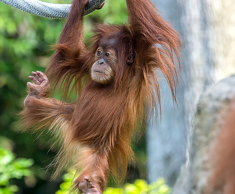 Orangutan baby swinging by long arms from ropes