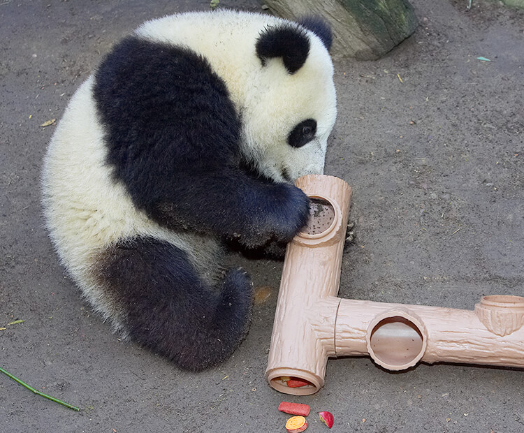 Baby panda Su Lin examines an enrichment puzzle filled with fruit rewards