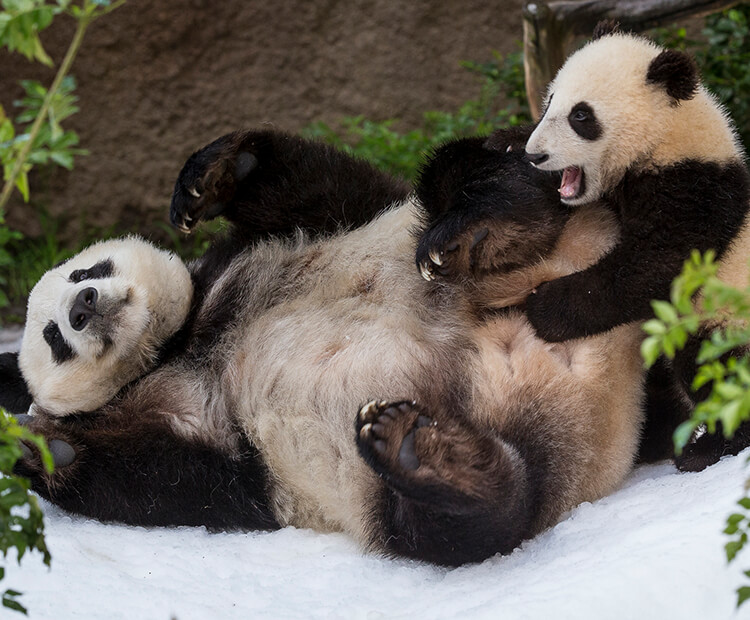 Panda Bai Yun and her cub enjoy rolling in the snow