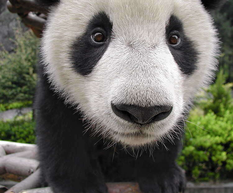 A young giant panda cub looks into the camera