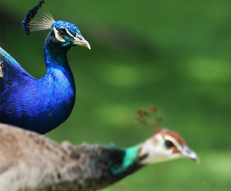 Indian Peacock and peahen