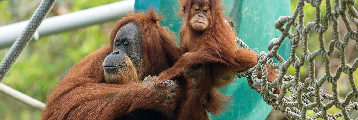 Orangutan mom holds onto bay's hands as it climbs out of a jungle gym rope net.