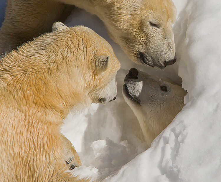A polar bear peaks its head out of a hole dug in snow as two others investigate