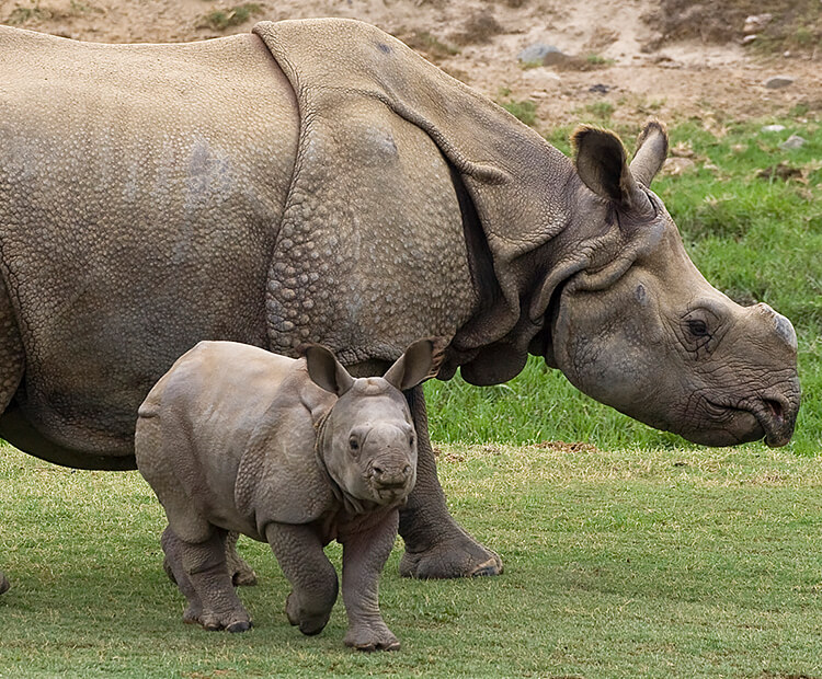 Indian Rhino mother and calf
