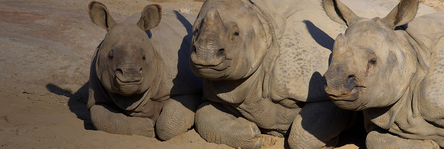 Three Indian rhinos snuggled together as they rest on the dirt