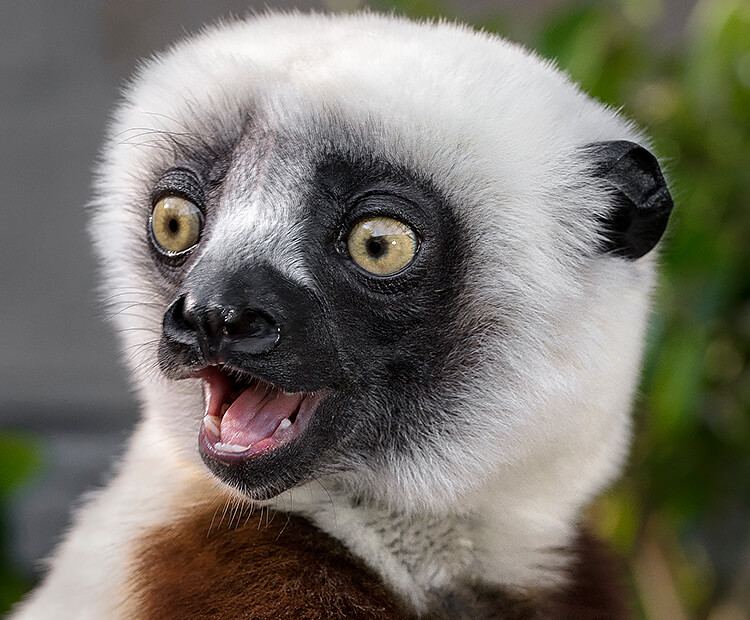 Coquerel's sifaka with mouth open