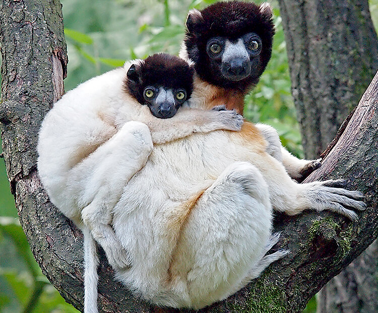 Crowned sifaka mom and baby
