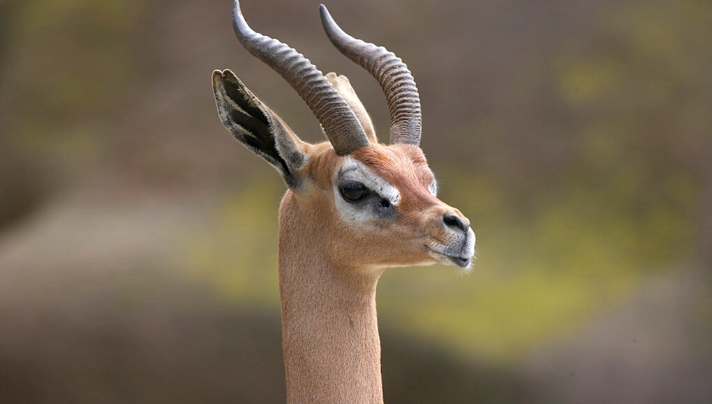 gerenuk looks off into the distance