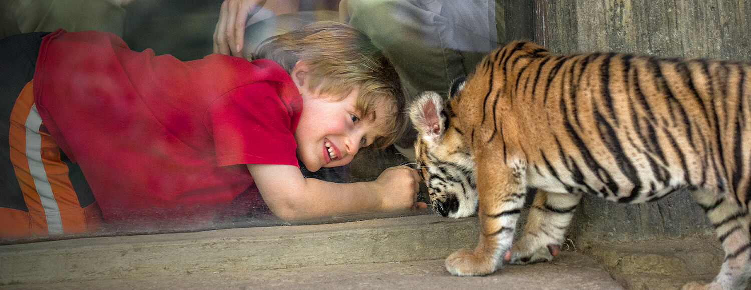 Young boy crouched down to get a better look at a baby tiger cub at the San Diego Zoo Safari Park