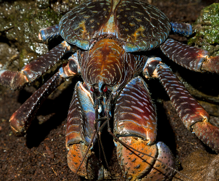 Kenny the coconut crab