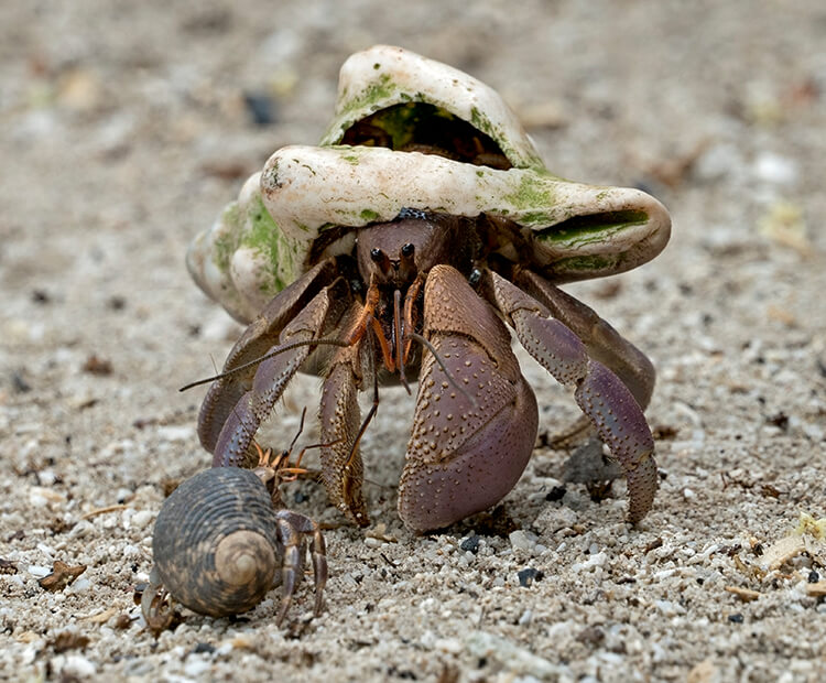 A pair of coconut crabs eye one another