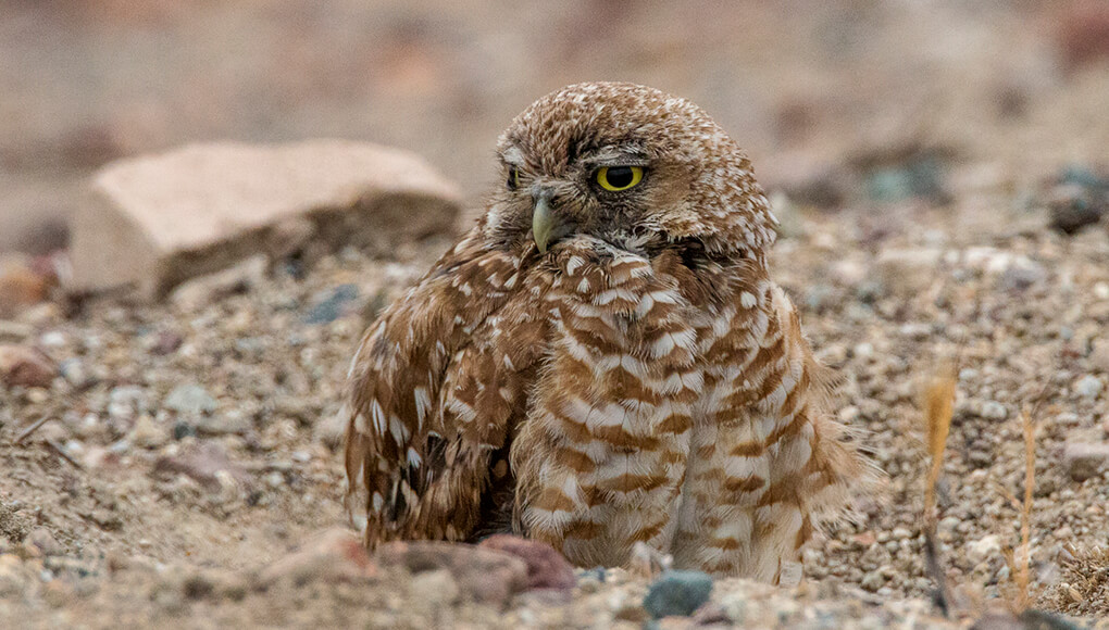 Burrowing owl hanging out at its burrow