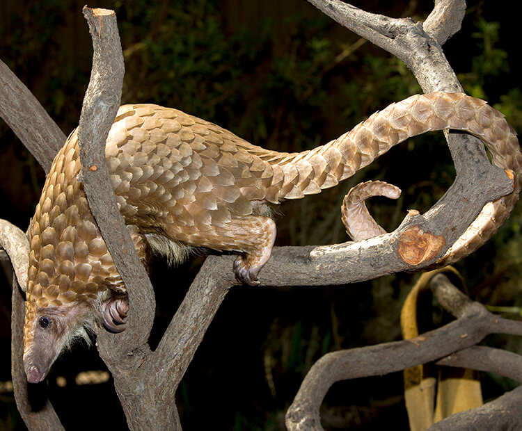 African tree pangolin climbing through tree branches with tail gently wrapped around  one of the branches