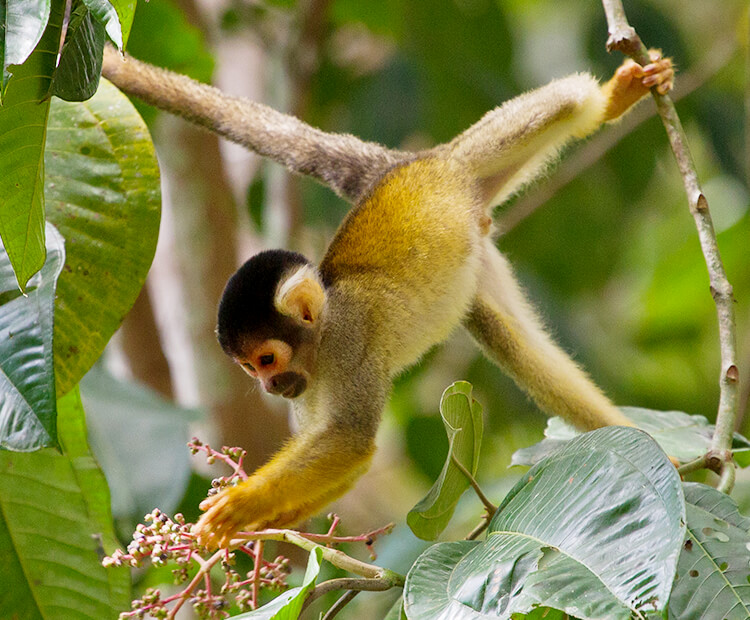 Squirrel monkey hanging from it's tail and left foot from tree branches while it picks flowers.