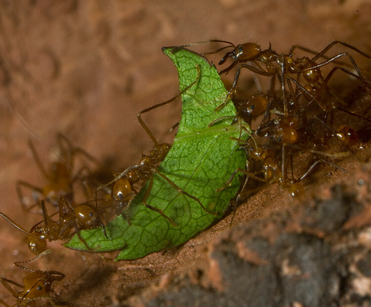 Leaf-cutter ants working together to carry a leaf