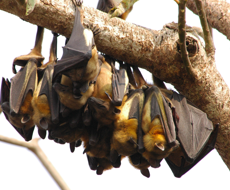 Fruit bats roosting together on a tree branch