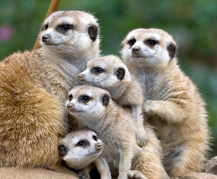 A group of five meerkats huddle together