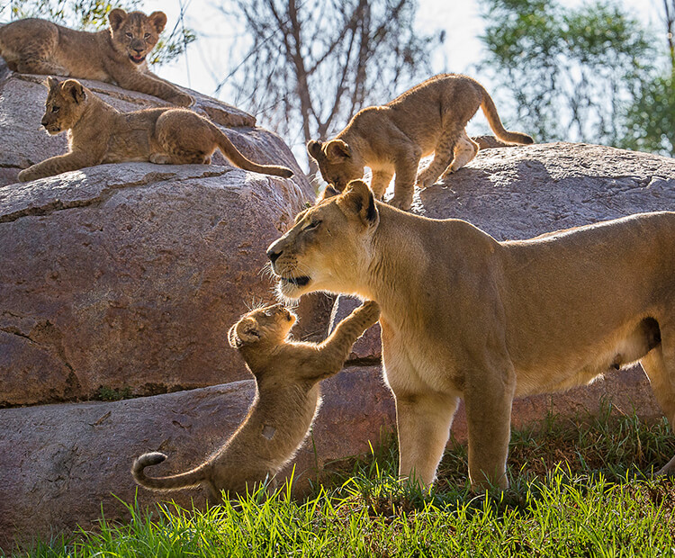 Female lion with four cubs