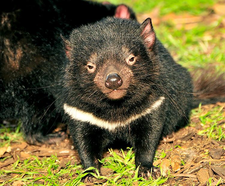 Tasmanian Devil San Diego Zoo Kids