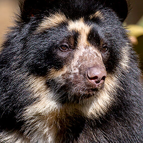 Andean bear spectacle markings on face