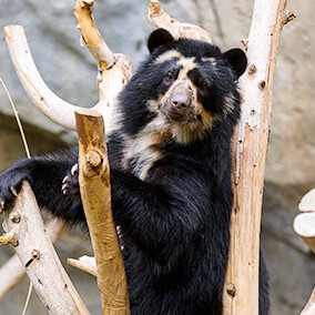 Andean bear climbing bare tree branches